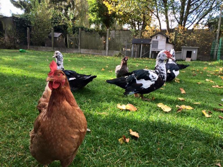 Poules et canards