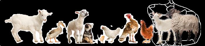 Basse cour chevre mouton